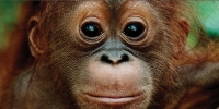 Urgent Petition to Stop the Destruction of an Indonesian Rainforest &#038; Save Orangutans, Tigers, Elephants &#038; Rhinos
